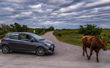 Öland, Sweden - June 05, 2016: Cow and a car in Borgholm, Öland, Sweden