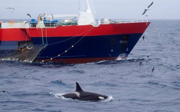 Paul-Tixier-photo-of-killer-whale-following-fishing-boat