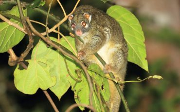 green ringtail possum stock image