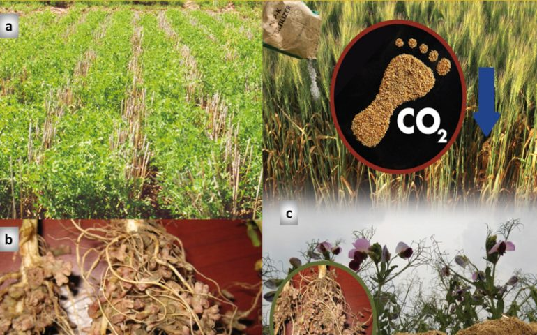 The beneficial role of pulse crops in cropping systems