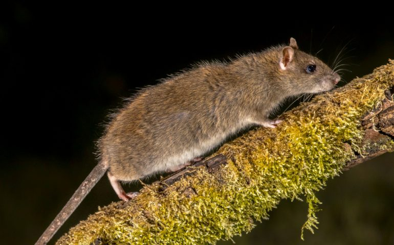 Wild Brown rat (Rattus norvegicus) turning on mossy branch at night. High speed photography image