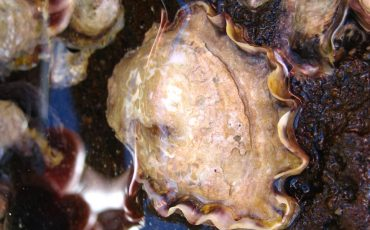 New home for oysters