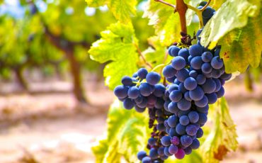 grapes french vineyard stock image