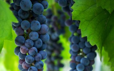Measuring bunch rot impact on wine quality
