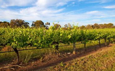 vineyard-swan-valley-wa