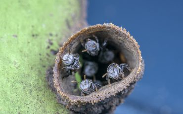 Tetragonula stingless bees at thier nest entrance, in the side of a house