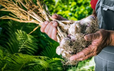 garlic harvest stock image