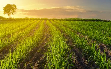 New research to deliver outcomes for Australian sugarcane growers and millers