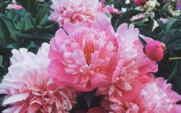 Peony scientist breaks new ground for cut flowers