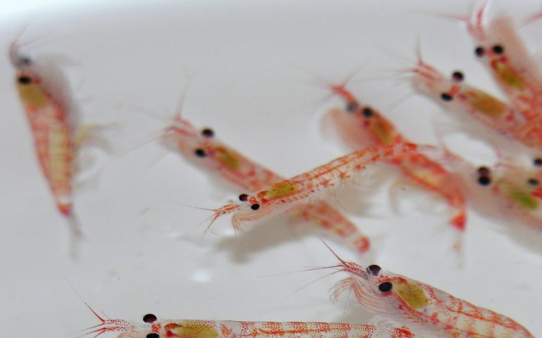 Antarctic krill. Credit Steve Nicol