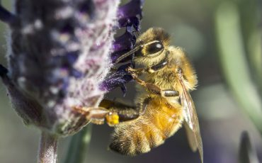 bee-on-lavendar stock image