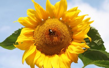 bee-on-sunflower
