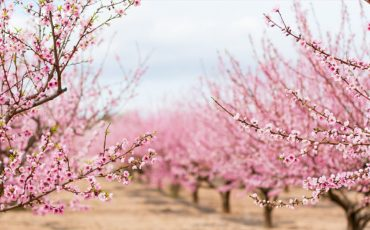 Self-fertilising almond trees secure the future of industry