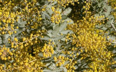 Research finds Australian wattle seeds have a 'fire gauge' and a 'rain gauge'