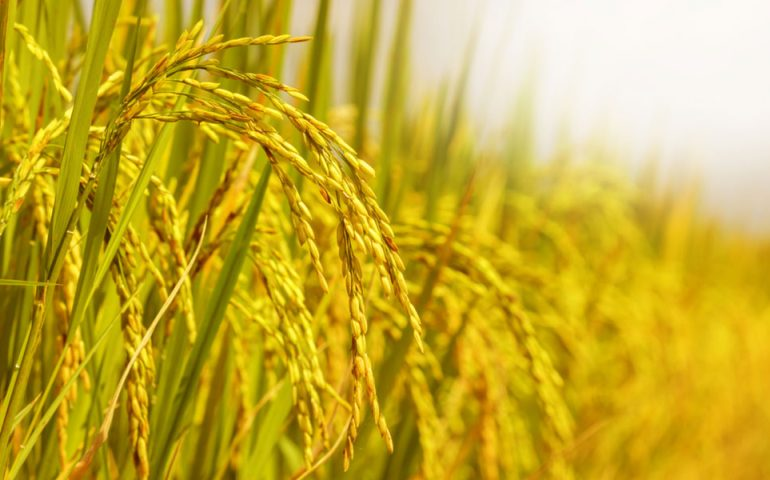 rice-field stock image