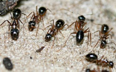 Sugar ants' preference for pee could curb GHG