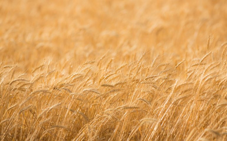 wheat-field-gold