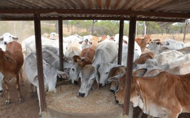 P payback for northern beef production
