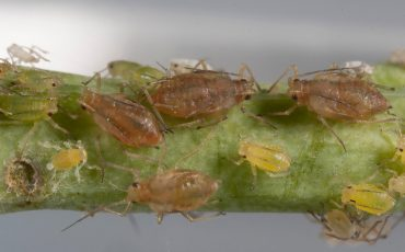 aphids green peach aphids