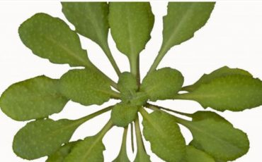 How plants sound the alarm about danger