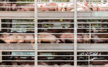pig exports stock image