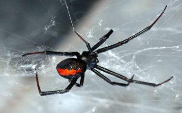 redback spider stock image