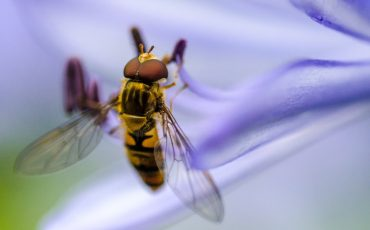 For food security, hoverflies could be the bees' knees