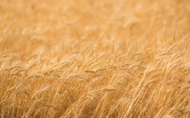 NZ wheat and barley crops