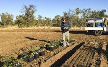 First sterile leucaena trial seedlings planted in the north