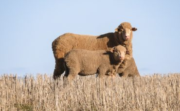 Flock value grows from weaning well