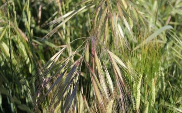 late brome germinations
