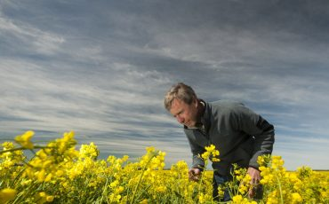 Canola growers urged to monitor for blackleg in upper canopy