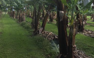 NSW banana growers