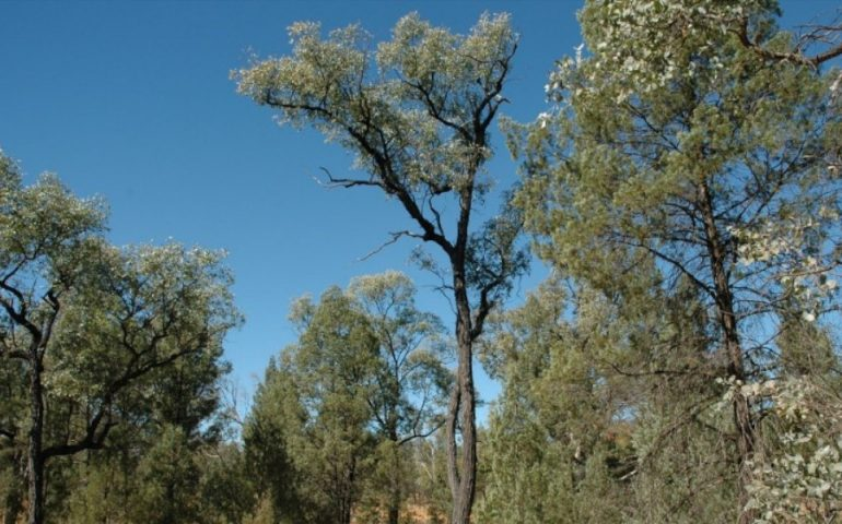 natural forest regrowth to capture carbon