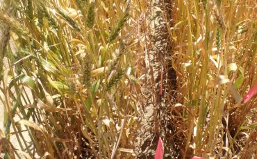 HWSC effective for brome grass management
