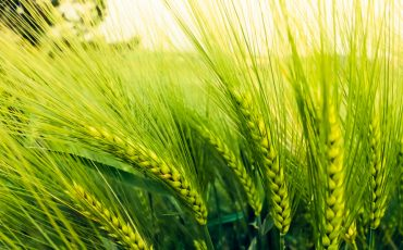 Research shows potential of gene editing in barley