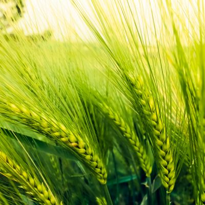 gene editing in barley