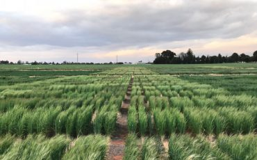 Potential new tool for frost screening in crops
